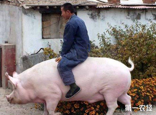 精液的气味_后备公猪要怎么调教?后备公猪的调教技术-饲养管理