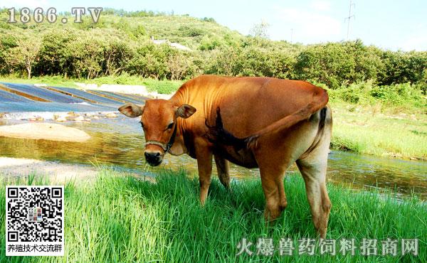 牛结核病发病原因是什么?如何防治?