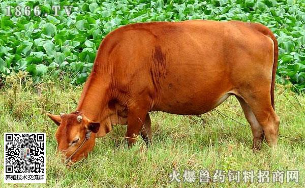 牛前胃弛缓症状有哪些?牛前胃弛缓的治疗措施