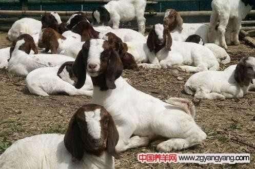 如何提高波尔山羊养殖的效益