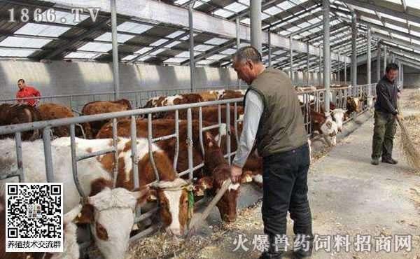 冬季养牛注意这3点,否则赔死没商量!