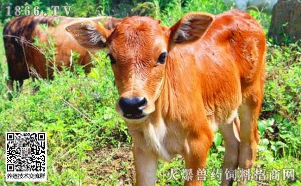 科学饲喂管理犊牛有哪些注意事项?