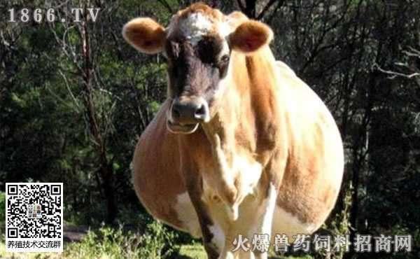 牛腹部臌胀有哪些病因?牛腹部膨胀又该如何防