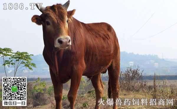 牛腹部臌胀有哪些病因?牛腹部膨胀又该如何防治