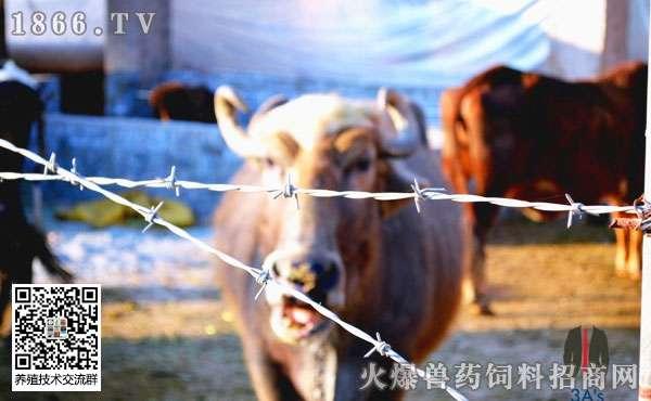 科学饲养无公害育肥肉牛?掌握这几点!
