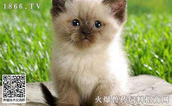 喜马拉雅猫是什么猫?喜马拉雅猫多少钱一只?