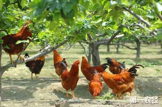 桔园养鸡技术要点 桔园养鸡要注意这几点