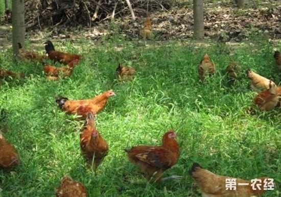 哪些地方能用来散养鸡?这几个地方最适合