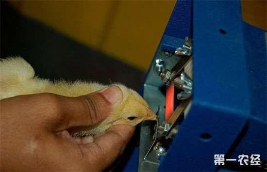 如何给雏鸡断喙?断喙的正确操作方法