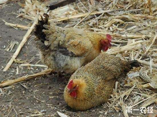 夏季母鸡产蛋率低怎么办?做好这几点是关键