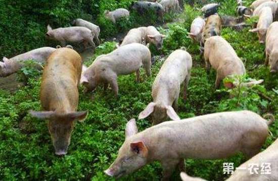 后备母猪要养?后备技术的饲养母猪辛凯视频图片