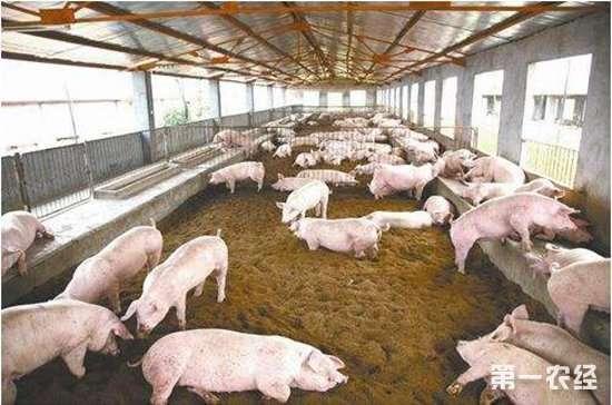 后备技术要养?后备母猪的饲养视频x光母猪透图片