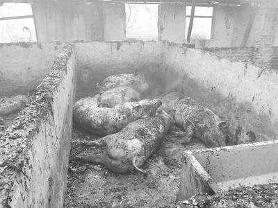 一养猪场发生火灾,百余头猪被烧死