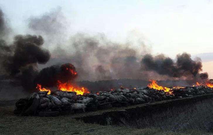 非瘟肆虐养猪业,超85万头猪被扑杀,多国禁止进口猪肉及饲料制品