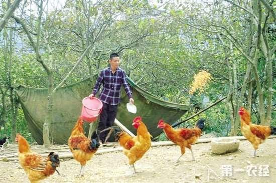 新玉米喂鸡容易导致拉稀 如何防止这种情况