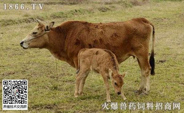 怎么饲养管理育肥期肉牛?
