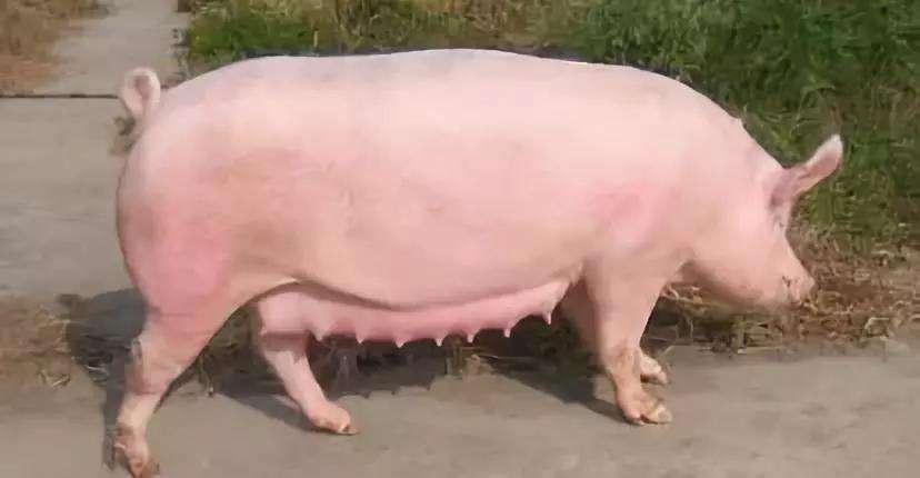 技术丨寒冬季节提高仔猪成活率技巧 (1)