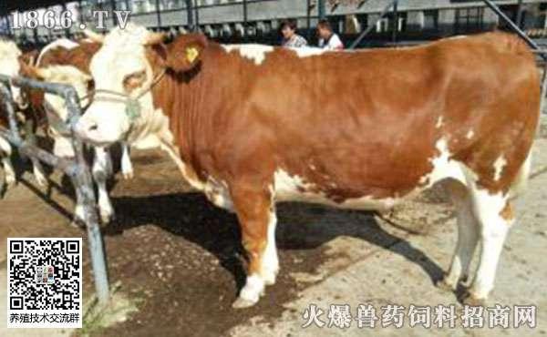 牛瘤胃积食的症状,牛瘤胃积食的治疗方法