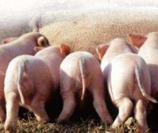 要怎么给猪驱虫?猪的驱虫技术