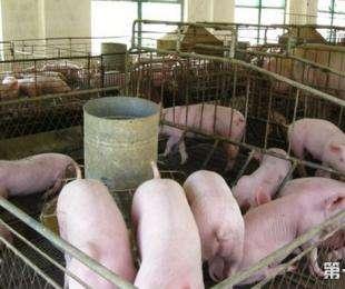 猪圆环病的症状以及防控措施