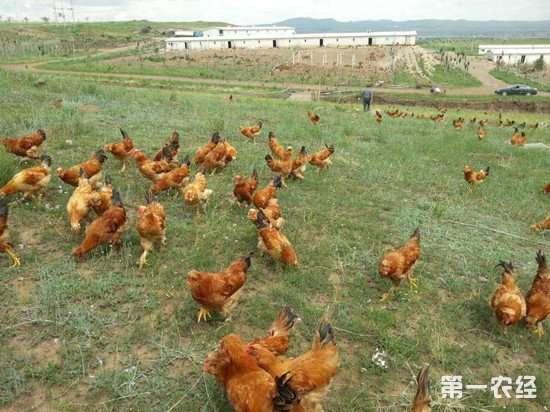 散养鸡技巧:做好这几项训练让养鸡更加轻松