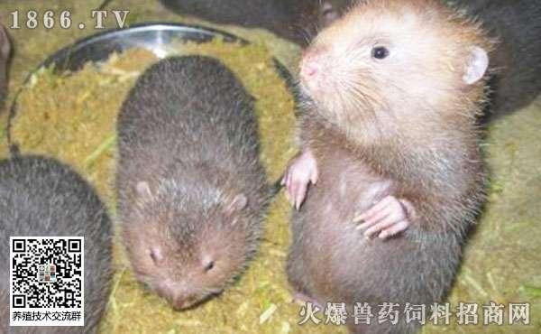 竹鼠的常见疾病?如何防治?