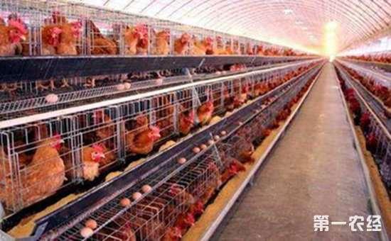 要提高蛋鸡的产量有哪些方法?以下8种你需学会