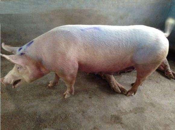 【技术】冬季猪场呼吸道病的临床用药技术 (1)