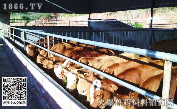 养牛怎样赚钱?如何提高肉牛养殖效益?