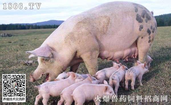 母猪乳房炎发病原因?母猪乳房炎发病症状是什么?