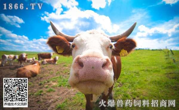 奶牛年龄可以从牙齿和角轮识别吗?如何识别?