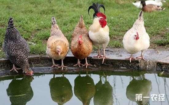 鸡要喝水吗,鸡缺水了会怎么样?鸡缺水的危害