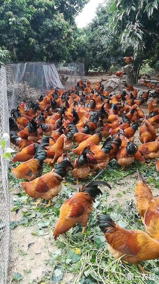 求养鸡高手帮忙掌下眼,这些散养8到10个月的公鸡品质如何?