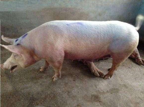 冬季困扰养猪人的难题,呼吸道疾病占头一个! (1)