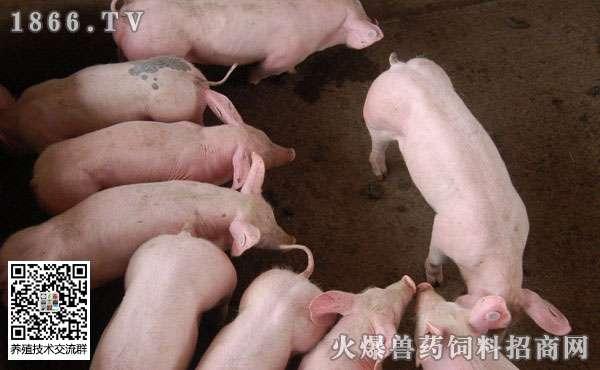 猪寄生虫的危害有哪些? 猪驱虫后没拉虫是否有效?