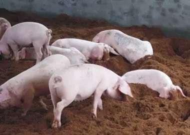 2月10日卖猪建议!!!