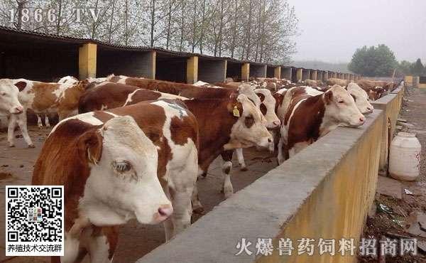 养殖什么肉牛品种好?一头牛需要多少成本?