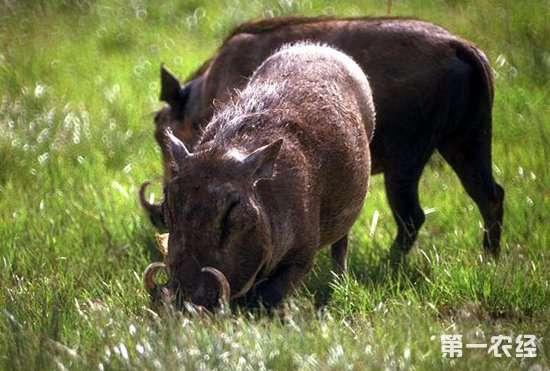 野猪养殖要注意什么?野猪养殖的注意事项