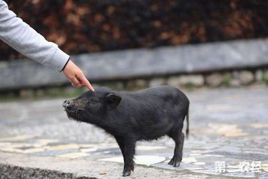 蕨麻猪养殖视频_藏香猪怎么养?藏香猪的养殖技术-饲养管理