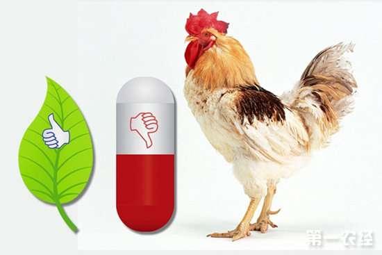鸡无抗养殖要解决哪些问题呢?无抗养鸡可行性浅谈