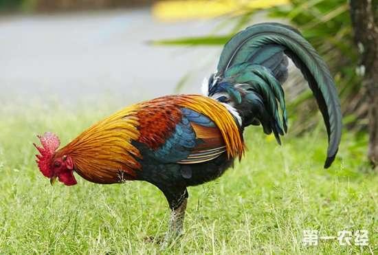 公鸡这样养,鸡冠长得快,而且还红,更健壮!