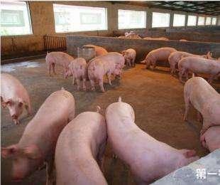 猪肺疫的发病原因以及治疗措施