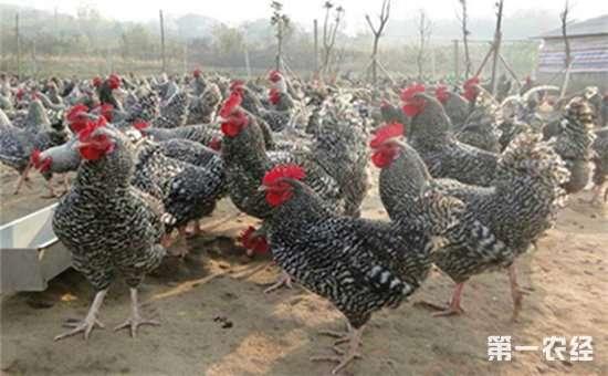 哪些鸡种的产蛋率自最高?四个产蛋率较高的鸡种介绍