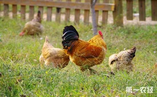 土鸡可以吃哪些饲料?不同阶段的土鸡所需饲料也不同