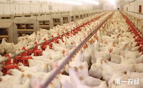 春季养鸡舍要如何进行消毒?注意以下几点
