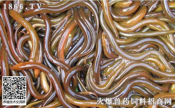 黄鳝的养殖条件和养殖技术。