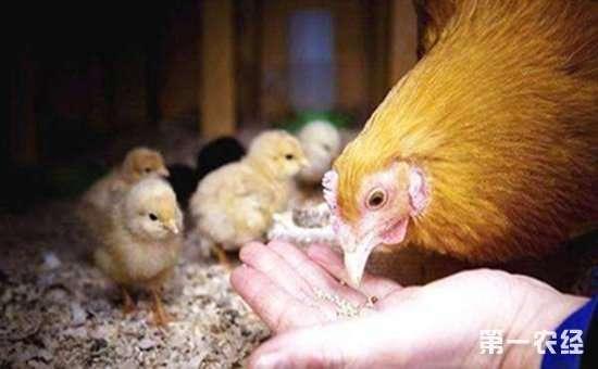 鸡饲料要如何选购?选购优质鸡饲料的方法