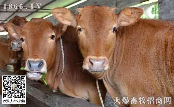 农村养牛赚钱吗?为什么养牛越来越难赚钱?养牛的利润与成本!