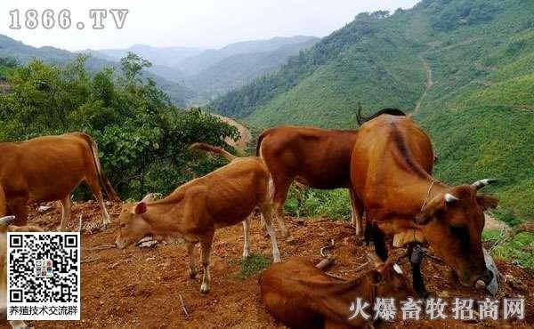 牛容易得哪几种病?牛病治疗方案大全!