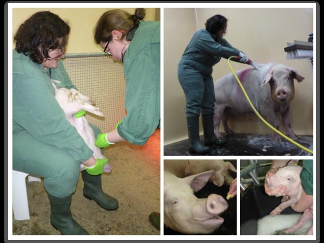 防控非洲猪瘟,礼来治道有方